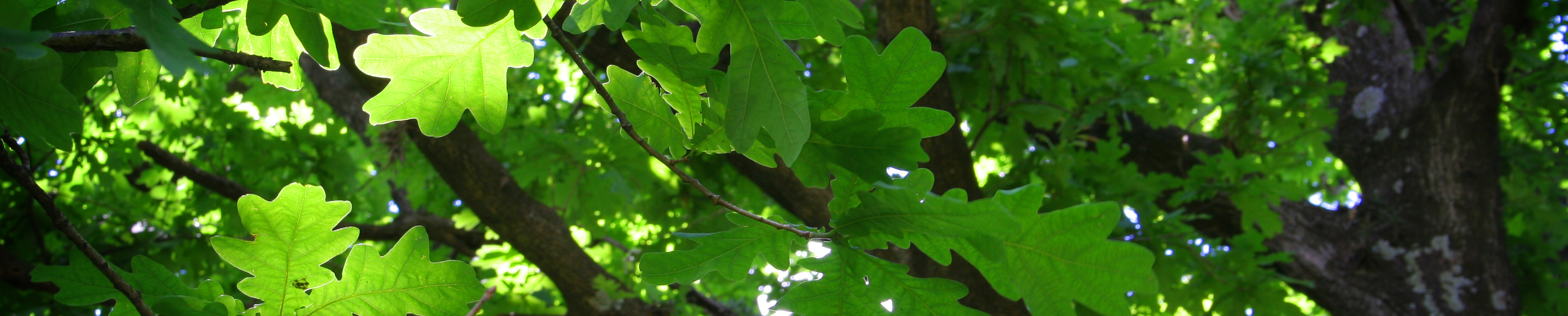 treecanopy-croped1